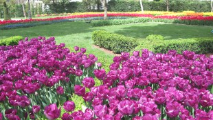 tulips pic 2