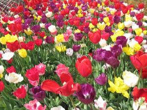 tulips pic 300x225 Breaking up with Istanbul